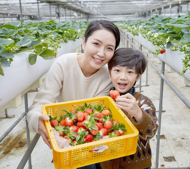 파주월롱딸기농장_딸기체험
